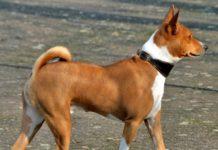 Tüy dökmeyen köpek cinsleri